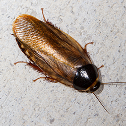 Picture of Surinam Cockroach