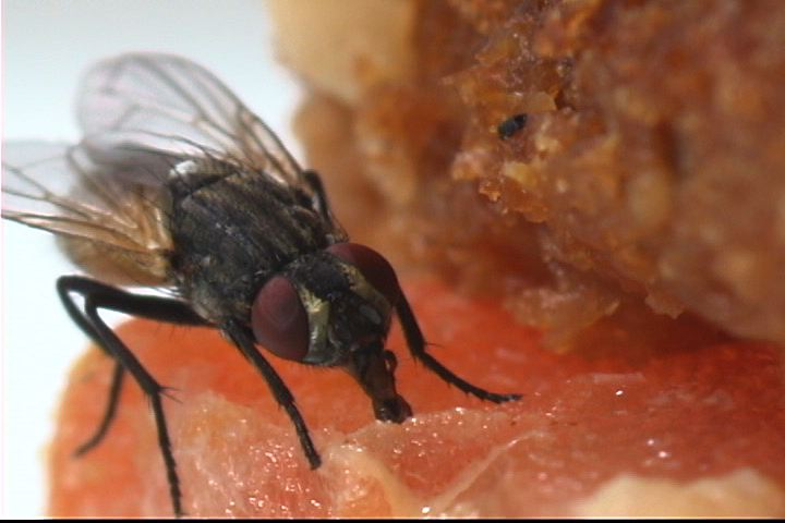 picture of a fly eating
