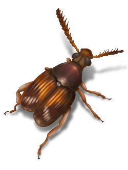 cowpea weevil illustration